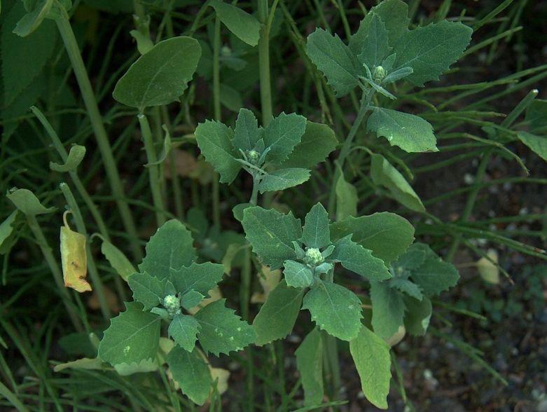 сорняки на огороде названия с фото