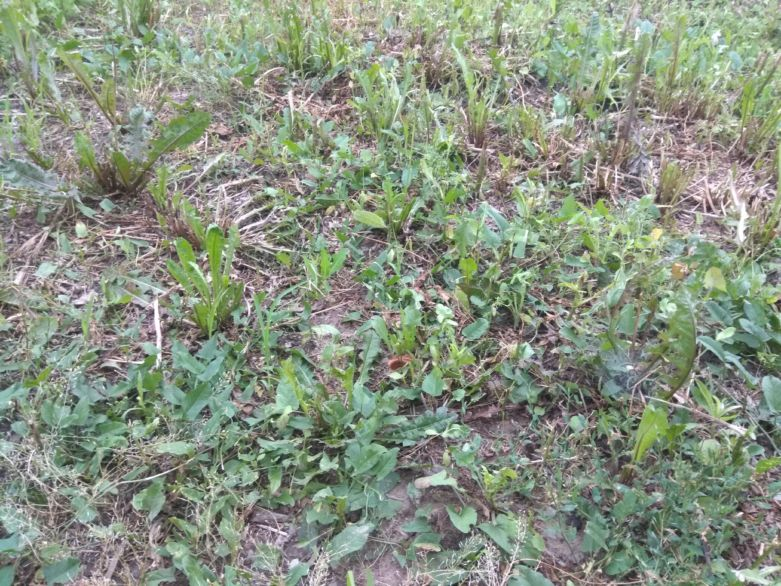 сорные травы подмосковья названия и фото
