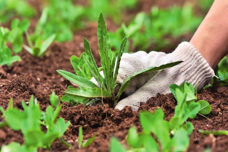 что посадить чтобы избавиться от сорняков