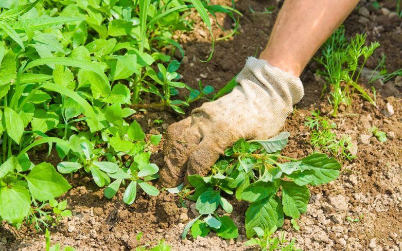 как уничтожить сорняки на участке