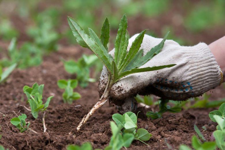 какие советы для дачников избавления от сорняков