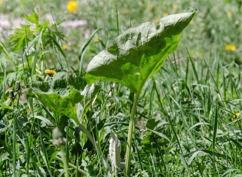 трава лопух фото