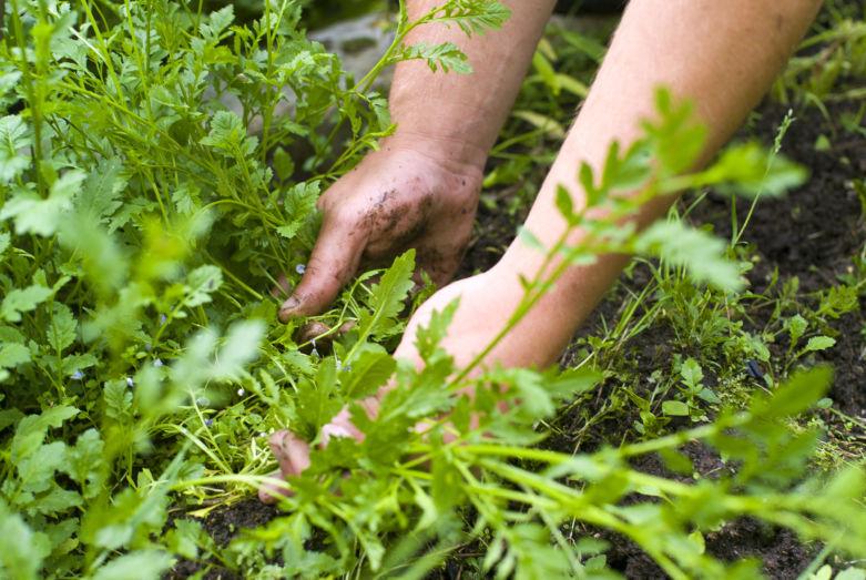 нужно ли выкапывать сорняки осенью