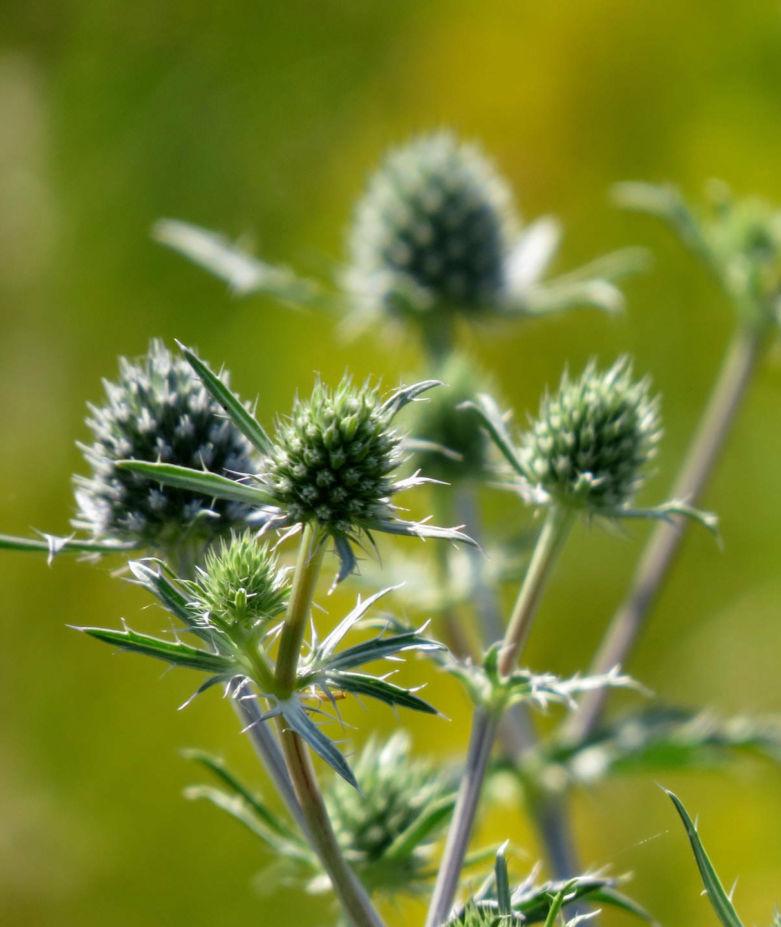 трава чертополох фото