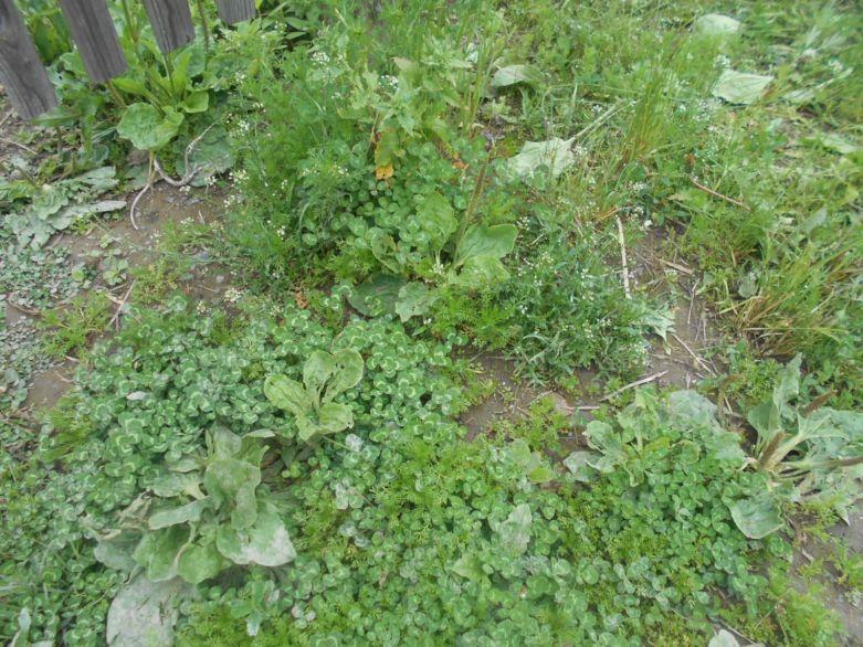 кислица сорняк как избавиться