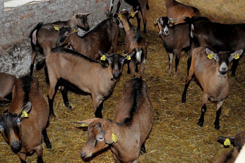 Расскажем про альпийскую породу коз: особенности по уходу и разведению