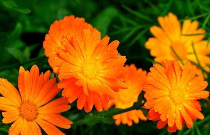 календула цветы выращивание