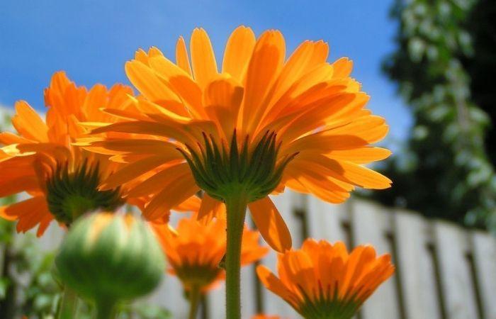 календула фото цветов на клумбе