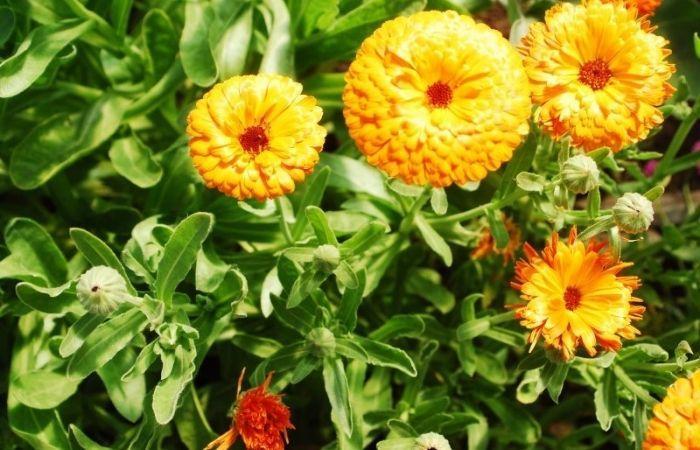календула когда цветет