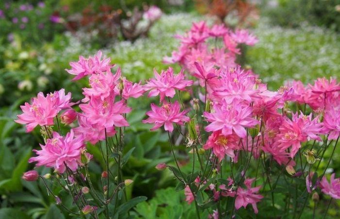цветы водосбор фото