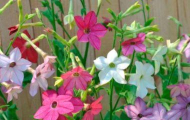 цветы табак
