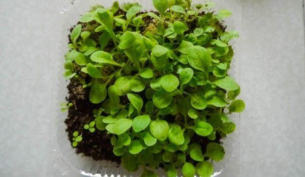 душистый табак выращивание из семян