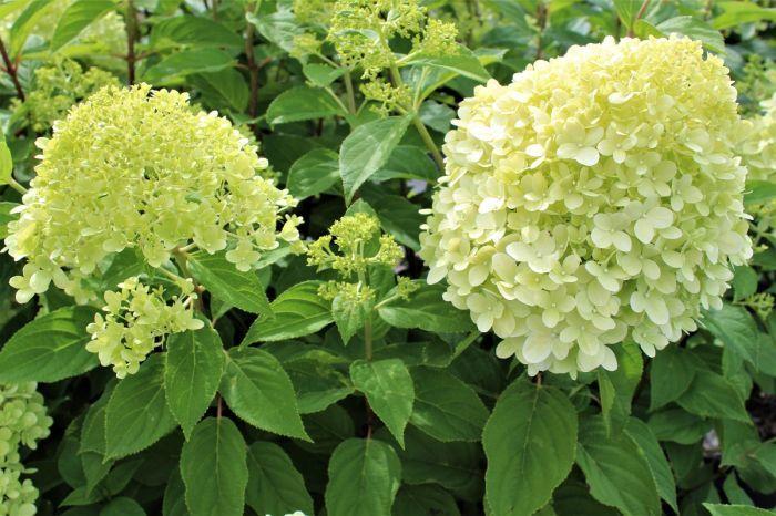 гортензия метельчатая лаймлайт цветки