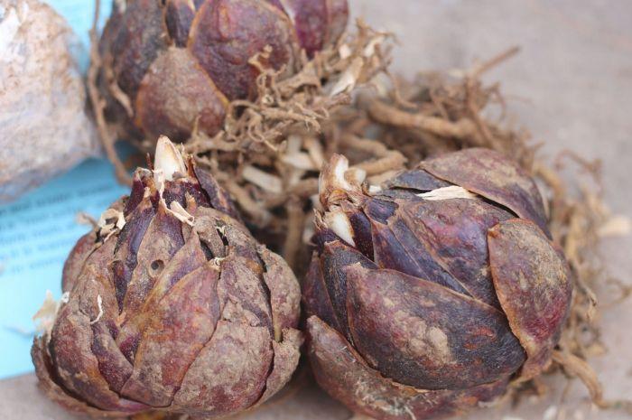 лилии луковицы