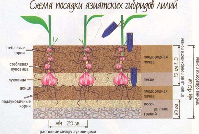 на каком расстоянии сажать лилии