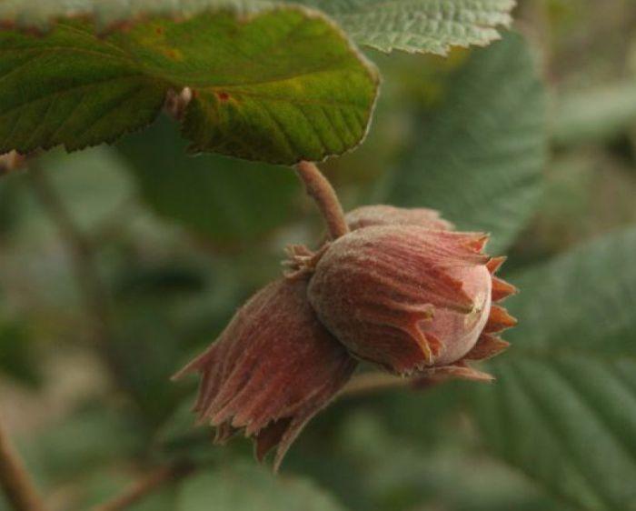цветение орешника