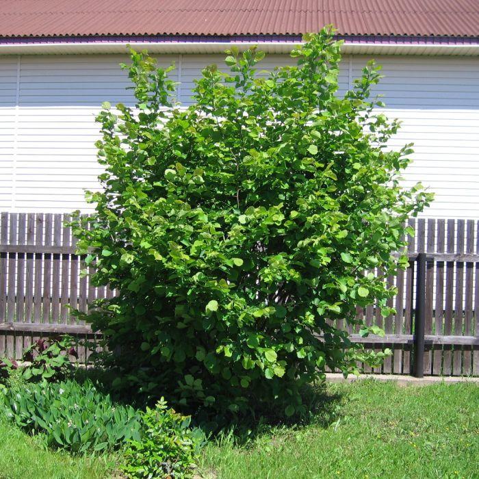 дерево фундук