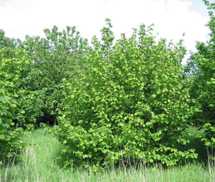 лесной орех дерево