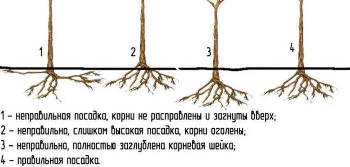 корни облепихи