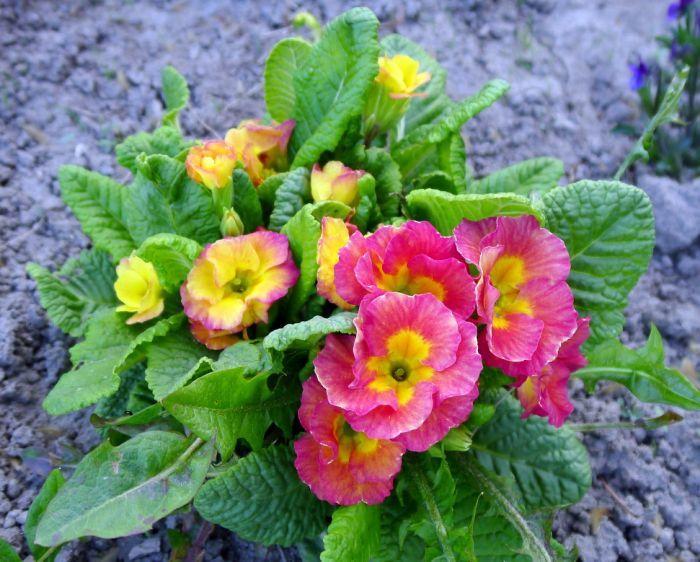 цветет примула
