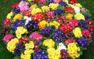 примула многолетняя фото садовая