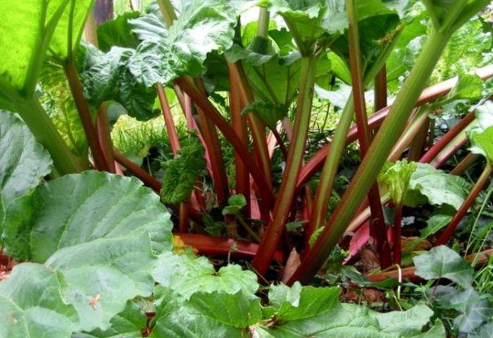 ревень выращивание из семян