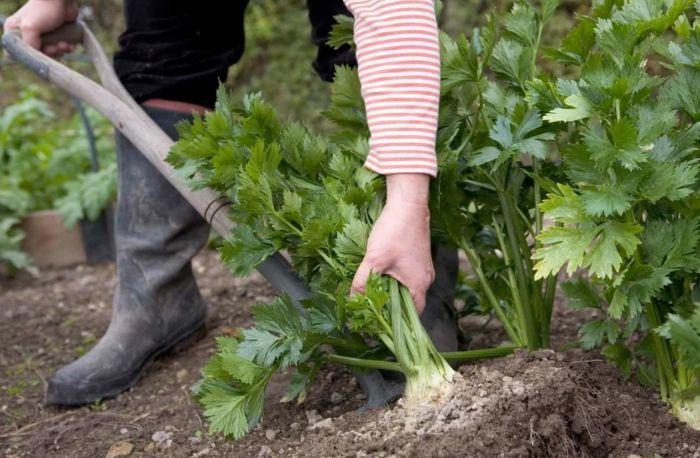 как садить сельдерей