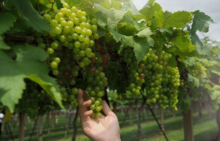 виноград обрезка