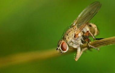 чем обработать лук от луковой мухи