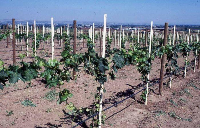 виноград обрезка летом