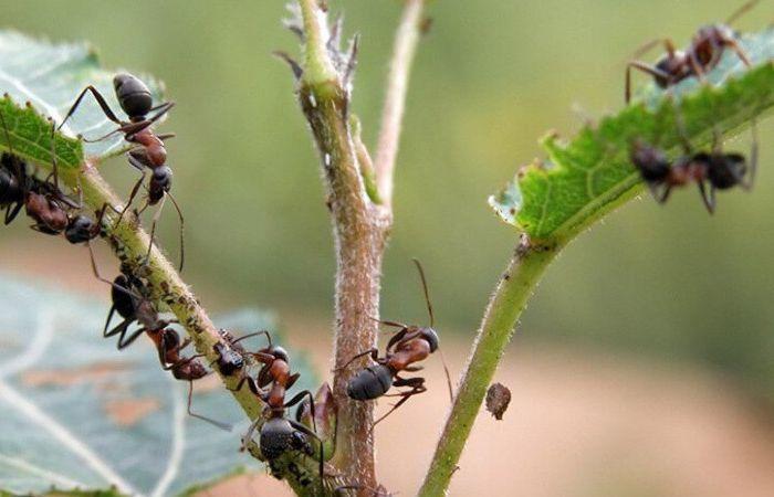 муравьи в огороде как избавиться народными средствами