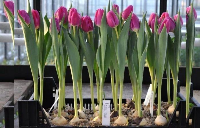 когда посадить тюльпаны