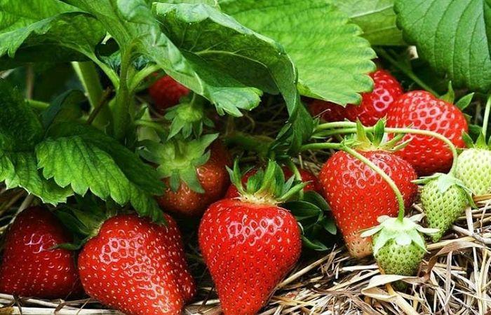 удобрение растений дрожжами