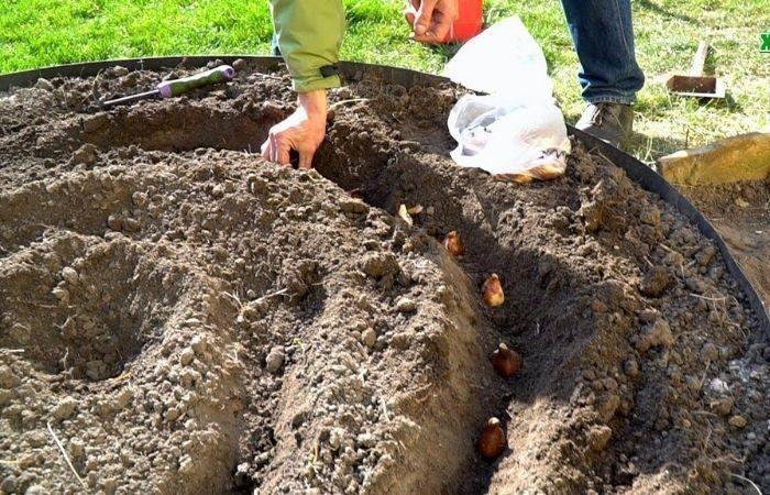 луковицы тюльпанов как хранить и когда сажать