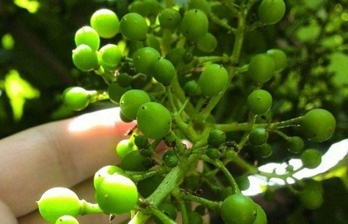 виноград уход обрезка