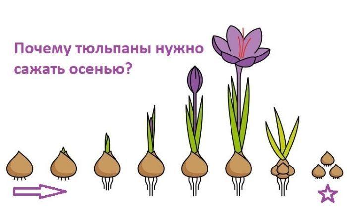 когда сажают тюльпаны