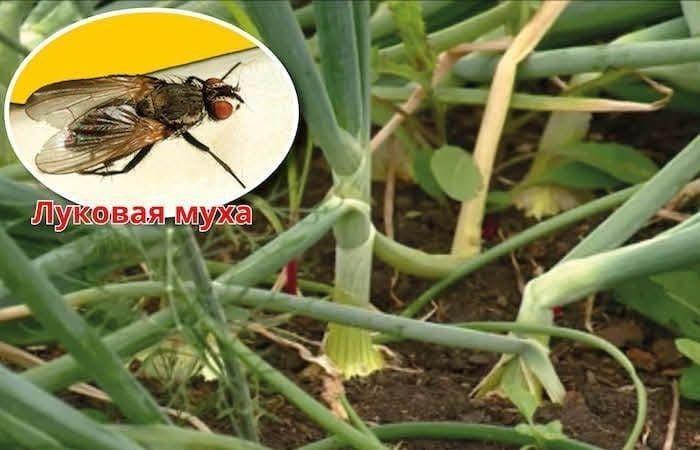 как избавиться от луковой мухи на огороде