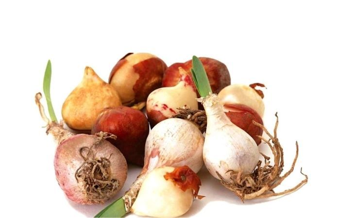 тюльпаны когда сажать луковицы