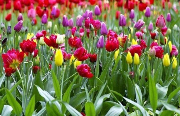 как сажают тюльпаны