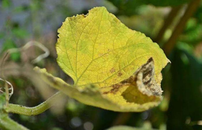 почему желтеют листья на огурцах