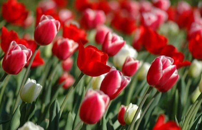 когда надо сажать тюльпаны