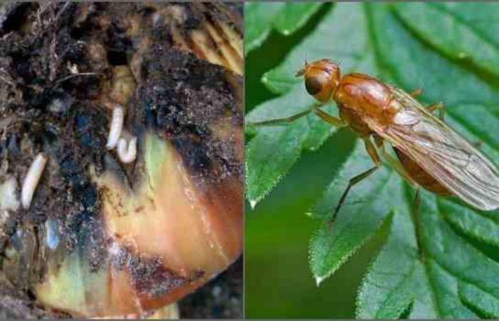 луковая муха как бороться