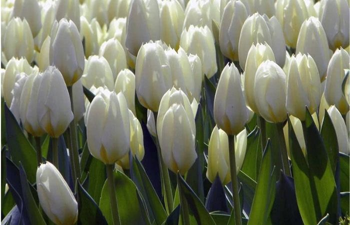 когда садить тюльпаны