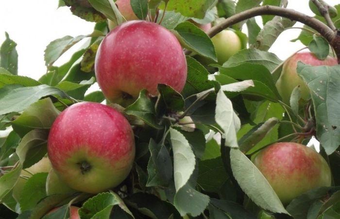 мельба яблоко фото