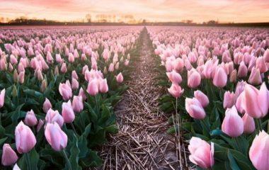 когда высаживают тюльпаны
