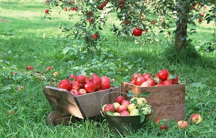 яблоня мельба описание сорта фото отзывы садоводов
