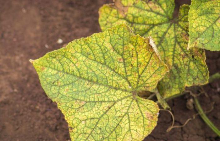 почему желтеют листья у огурцов