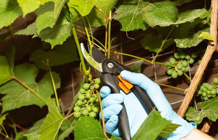 когда обрезают виноград
