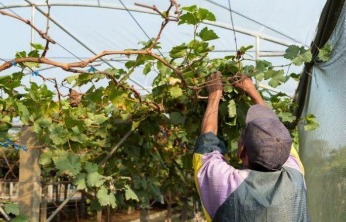 обрезка винограда в картинках