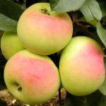 яблоня имрус фото